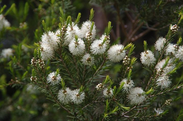 melaleuca_alternifolia_albero_del_tc3a8_