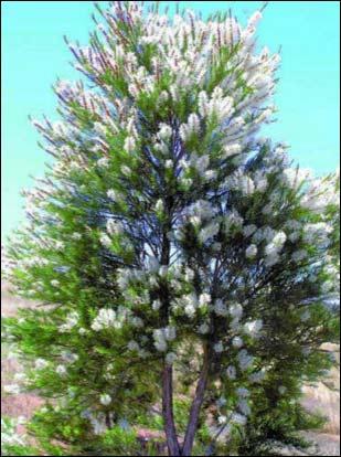 Tee_Tree_Oil_Oil_of_Melaleuca_alternifolia