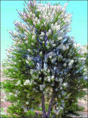 Tee_Tree_Oil_Oil_of_Melaleuca_alternifolia